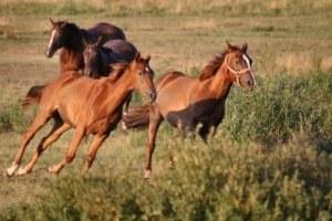 489668-quattro-cavalli-al-galoppo